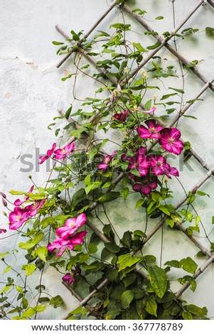 Clematis crawling on wooden trellis - stock photo