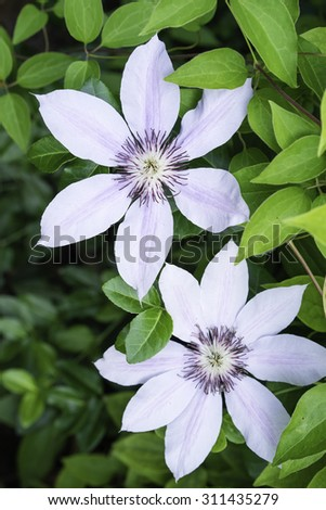 Clematis cultivar with pink stripes (binomial name: Clematis 'Nelly Moser') in summer garden, northern Illinois (selective focus) - stock photo