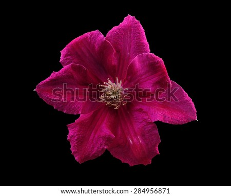 Clematis flower on a black background - stock photo
