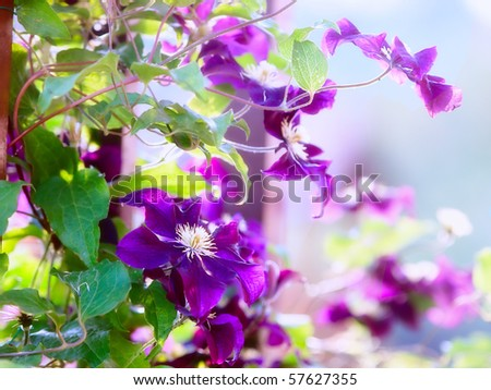 Clematis flower on a fence. Close-up shot with beautiful bokeh - stock photo