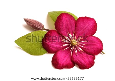 Clematis flower, with bud and leaves, on white background, isolated - stock photo