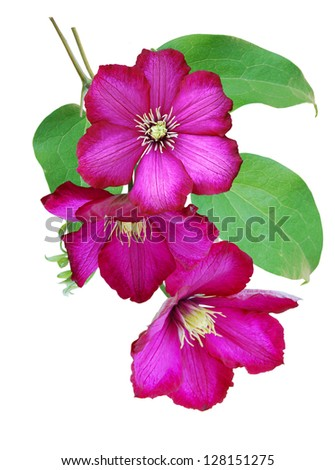 clematis flowers - stock photo
