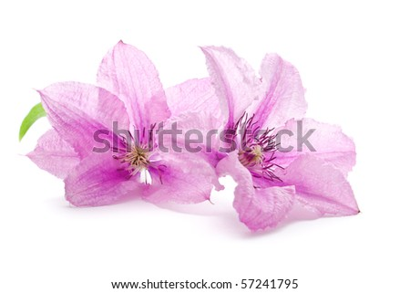 Clematis flowers, isolated on white - stock photo