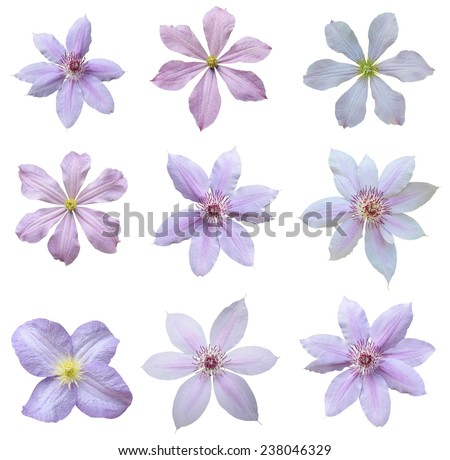 Clematis flowers isolated on white background  - stock photo