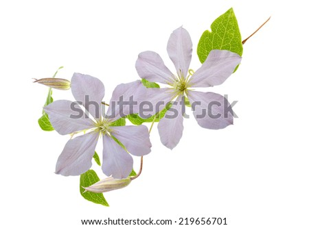 Clematis flowers isolated white - stock photo