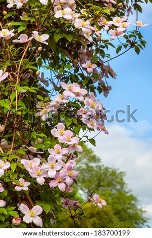 Clematis flowers on a wall - stock photo
