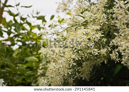 Clematis have a lot of small white flowers - stock photo