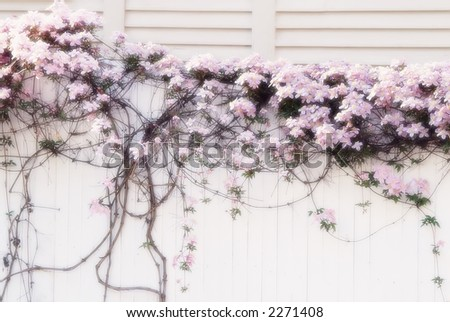 Clematis on White Fence with Soft Focus Effect - stock photo