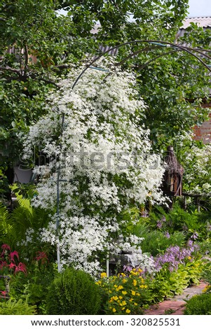 Clematis paniculata (Clematis paniculata). A flowering vine in the garden among the flowers - stock photo