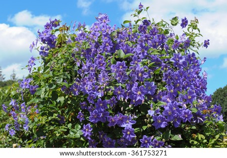 Clematis 'Perle D'Azur' Growing on a Wooden Pergola in an English Country Cottage Garden in Rural Devon, England, UK - stock photo