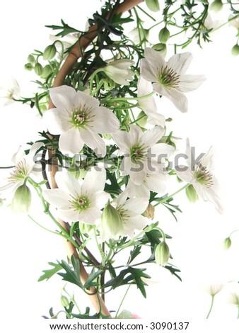 clematis vine in bloom