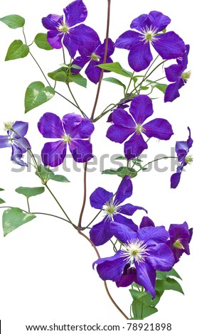 clematis vines on white background - stock photo