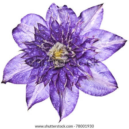 clematis with rain drops - stock photo
