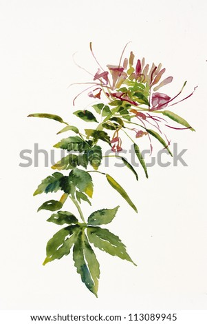 Cleome spider flower branch watercolor painting - stock photo