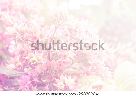 Clerodendrum thomsoniae, sweet flowers petal in soft style for background - stock photo