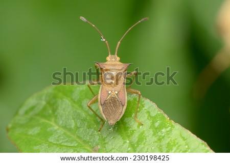 Cletus rusticus - stock photo