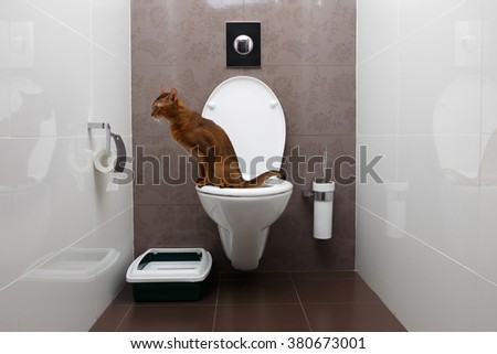 Clever Abyssinian Cat uses a toilet bowl - stock photo