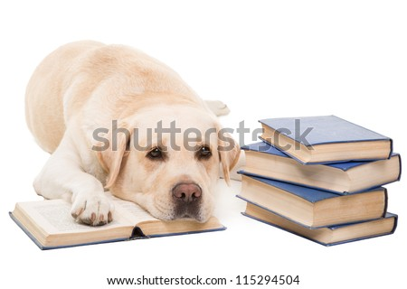 clever dog, pale-yellow labrador retriever reading books on  isolated white background