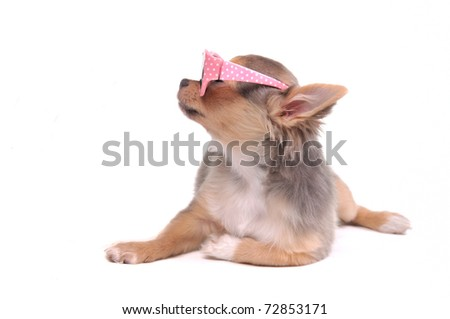 Clever Looking Chihuahua Puppy with Pink Glasses Looking Aside Isolated On White Background - stock photo