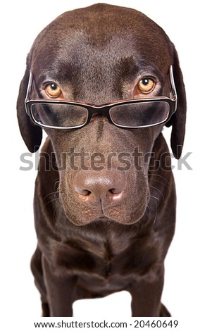 Clever Looking Labrador with Glasses - stock photo
