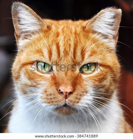 clever red color cat portrait - stock photo