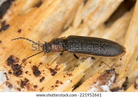 Click beetle, Denticollis linearis on wood - stock photo