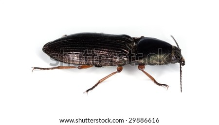 Click beetle, Selatosomus aeneus isolated on white background