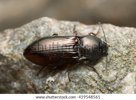 Click beetle, Selatosomus aeneus on rock