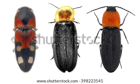 Click beetles (elaters, snapping beetle, spring beetle or skipjack) isolated on a white background - stock photo