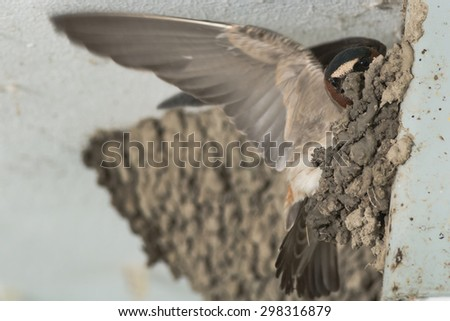 Cliff Swallow perched on a wall building its nest. - stock photo