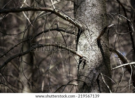 Climate change - dry, bald trees - stock photo