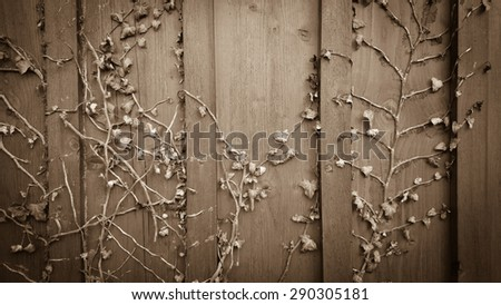 Climber ivy, hedera on old wooden shabby board background - stock photo