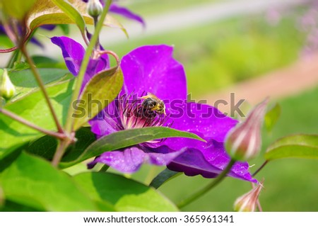 climber plant clematis, violet flower with bee closeup, local focus, shallow DOF