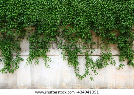 Climber plant on the wall - stock photo
