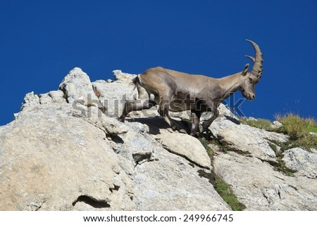 Climbing alpine ibex  - stock photo