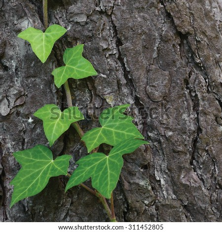 Climbing common Baltic ivy stem hedera helix L. var. young evergreen creeper leaves vertical pine tree bark texture background green wintergreen woody vine leaf closeup textured copy space pattern - stock photo