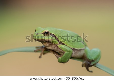 Climbing European tree frog - stock photo