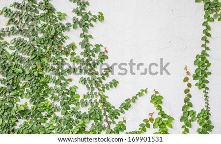 Climbing Fig are beautiful plant and Hickory farms were also Adjacent to the wall - stock photo