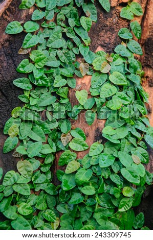 Climbing fig tree on the old wood. - stock photo