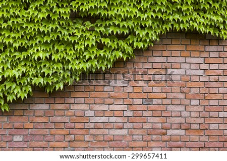 Climbing green ivy on an old brick wall outdoors