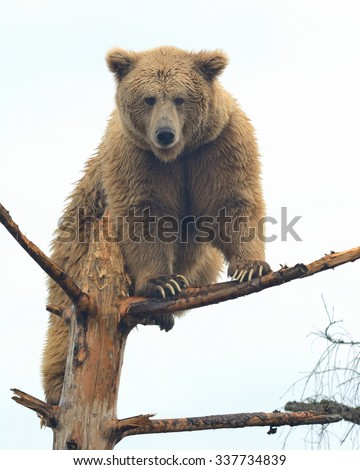 Yeti Stock Photos, Images, & Pictures | Shutterstock Himalayan Brown Bear Yeti