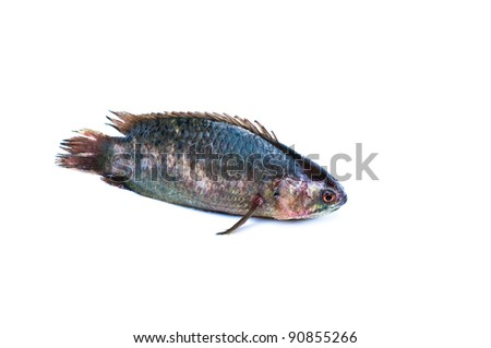 Climbing perch fish on a white background - stock photo