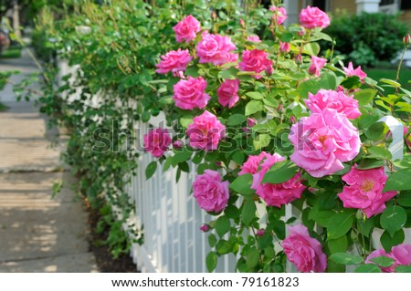 Climbing pink roses on white fence - stock photo