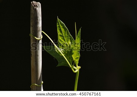 climbing plant around the pole