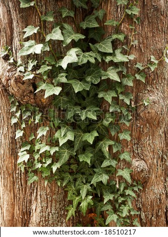 Climbing plant growing on a tree. - stock photo