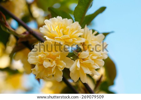 Climbing rose 'Golden Showers'. Bush of yellow climbing roses in a garden with blue sky background. - stock photo