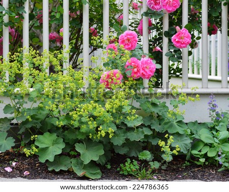 Climbing Roses Detail - stock photo