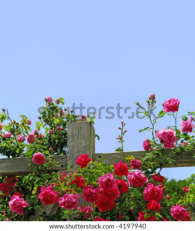 climbing roses on fence - stock photo