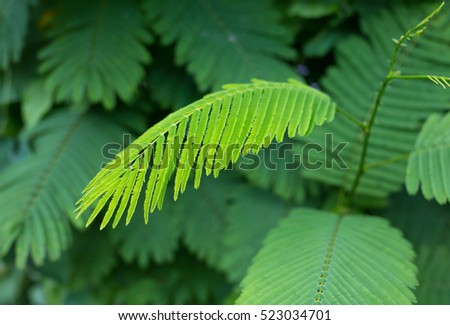 Climbing Wattle or Acacia pennata vegetables eat leaves and has many nutrients and vitamins,Thailand