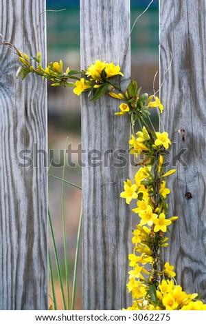 Climbing yellow flower vine stock photo edit now 3062275 climbing yellow flower vine mightylinksfo